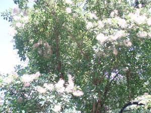 smoketree.jpg