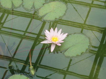 waterlily5.jpg